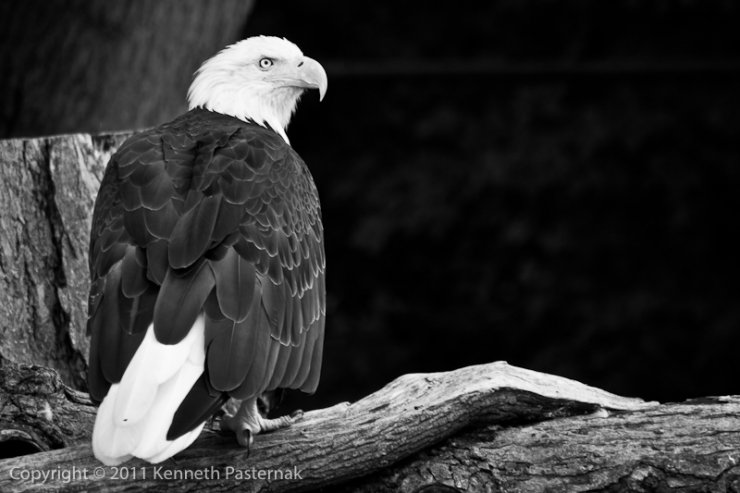 American Bald Eagle